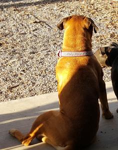 07-04-16-lost-mastiff-236
