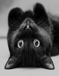 499611754-black-cat-236